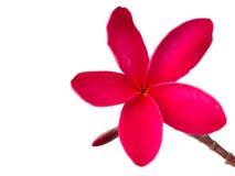 Frangipani vermelho & x28; plumeria& x29; flores no fundo branco Imagens de Stock