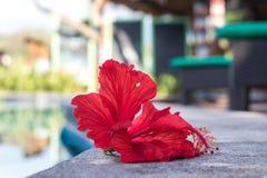 Frangipani vermelho tropical do plumeria perto da votação da natação Ilha de Nusa Lembongan, Indonésia, Ásia Fotografia de Stock