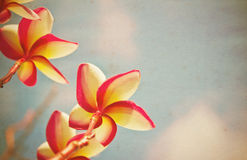 Frangipani Vintage old paper. Royalty Free Stock Photography