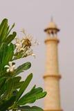 Frangipani vor Minarett von Taj Mahal Stockfoto