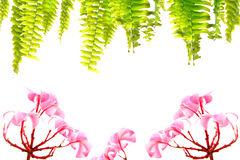 Frangipani with water droplets and border of fern Stock Photos