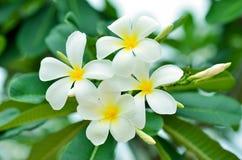 Frangipani, weißer Hintergrund mit grünen Blättern Lizenzfreie Stockbilder