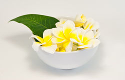 Frangipani on white background . An originate in asia Stock Photography