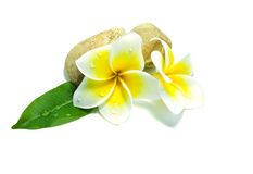 Frangipani on white background . An originate flower in asia Royalty Free Stock Photography