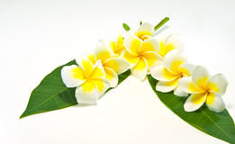 Frangipani on white background . Royalty Free Stock Photo