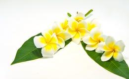 Frangipani on white background . Royalty Free Stock Photo