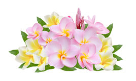 Frangipani  on white background Royalty Free Stock Images