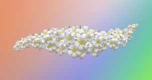 Frangipani White flower. White flower is a beautiful background and Very focus royalty free stock photo