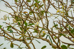Frangipani, white flower in a garden. Frangipani is flower which grow in Philippines. Cebu Royalty Free Stock Photo