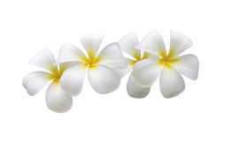 Frangipani. White frangipani flower isolated white royalty free stock images