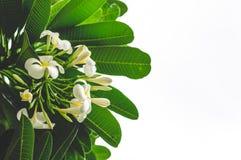Frangipani White Isolated Background. Frangipani Flowers And Leaves On White Isolated Background Royalty Free Stock Photo
