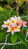 Frangipani in Wildernis van Thailand op koh Lanta wordt gevonden die stock foto