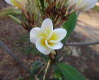Frangipani - Witte en gele bloem stock afbeelding