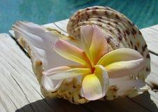 Frangipani y shell Fotografía de archivo