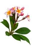 Frangipani z gałązkami i liśćmi. Obraz Stock