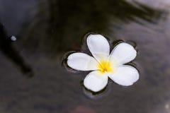 Frangipani zdroju kwiaty Obraz Royalty Free