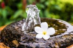 Frangipani zdroju kwiaty Obrazy Stock