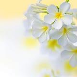 Frangipani zdroju Tropikalny kwiat. Plumeria granicy projekt Obrazy Stock