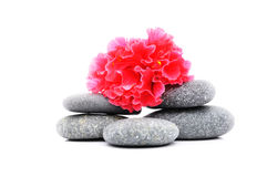 Frangipani And Zen Stone. Zen And Spa Stones With Hibiscus Flower Over White Background Stock Photography