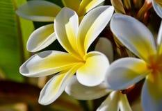 Frangipaniblüte Stockfoto