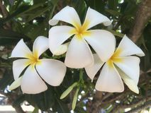 Frangipaniblüte, Australien Stockfotos