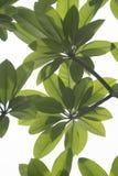 Frangipanibladeren Stock Afbeeldingen