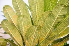 Frangipanibladrost på träd Arkivfoton