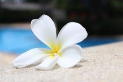 Frangipanibloem door de pool Stock Afbeeldingen