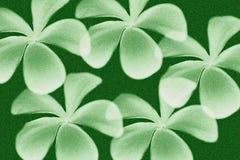 Frangipanibloem met groene kleurenachtergrond Royalty-vrije Stock Fotografie
