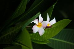 Frangipanibloem op groen blad backgorund Bali - Beeld royalty-vrije stock foto's