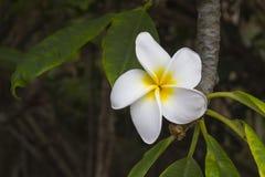 Frangipanibloem Plumeria tropische boom Stock Afbeeldingen