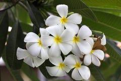 Frangipanibloemen Royalty-vrije Stock Afbeeldingen