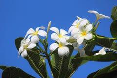 Frangipanibloemen en blauwe hemel Royalty-vrije Stock Afbeeldingen