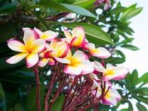 Frangipaniblomma Royaltyfria Bilder