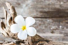 Frangipaniblomma (Plumeria) på trä Royaltyfria Bilder