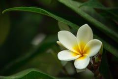Frangipaniblomma som blommar på en filial Arkivfoton