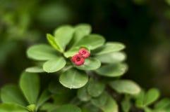Frangipaniblommor är röda royaltyfri fotografi