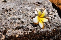 Frangipaniblume auf einem alten Felsen Lizenzfreies Stockbild