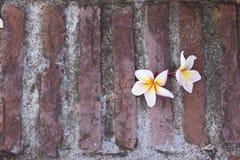 Frangipaniblume auf Ziegelstein Lizenzfreie Stockbilder