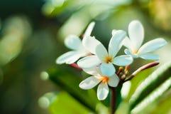 Frangipaniblume im Garten Stockbilder