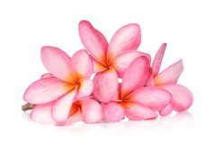 Frangipaniblume lokalisiert auf weißem Hintergrund stockfoto