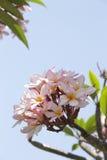 Frangipaniblume mit blauem Himmel in Bali stockfotos