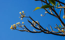 Frangipaniblume oder Leelawadee-Blume Lizenzfreie Stockfotos