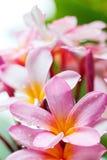 Frangipaniblumen Stockfoto