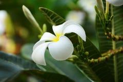 Frangipaniblumen Lizenzfreies Stockbild
