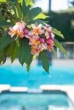 Frangipaniblumen auf dem Baum mit Pool Stockfoto