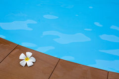 Frangipaniblumen im Swimmingpool Lizenzfreies Stockfoto