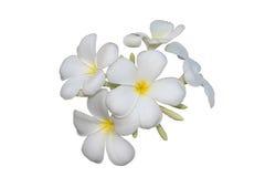 Frangipaniblumen lokalisiert mit Beschneidungspfad Lizenzfreies Stockfoto