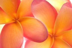 Frangipaniblumen schließen oben Lizenzfreie Stockfotografie