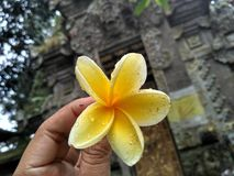 Frangipaniblumen sind mit Bali identisch lizenzfreies stockfoto